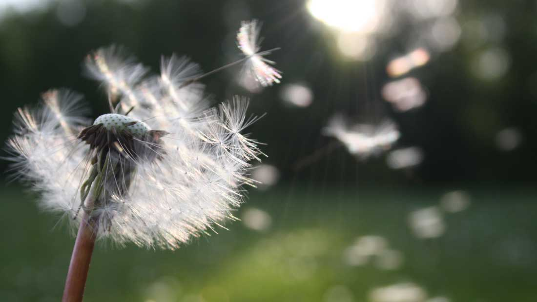 Dandelion-pexels-photo-54300